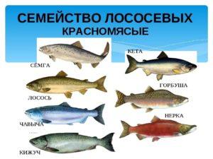 рыба-семейства-лососевых