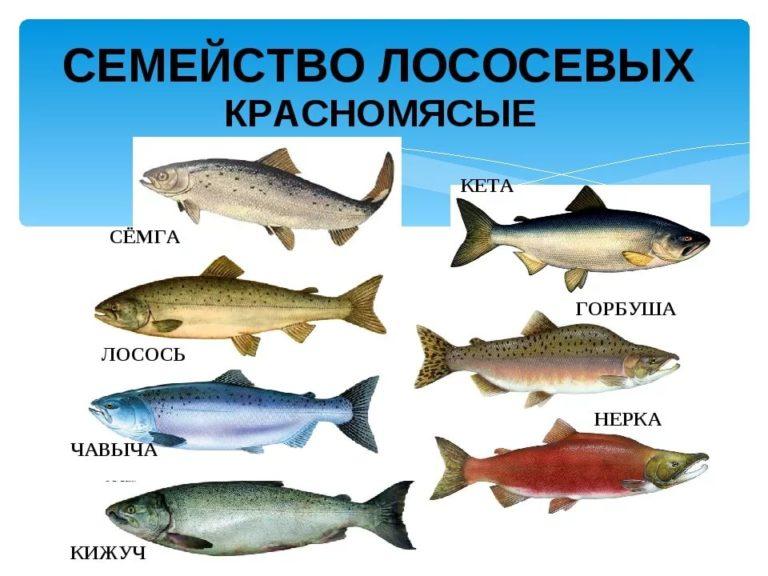 рыба семейства лососевых 6