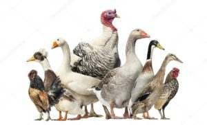 утка-курица-индейка